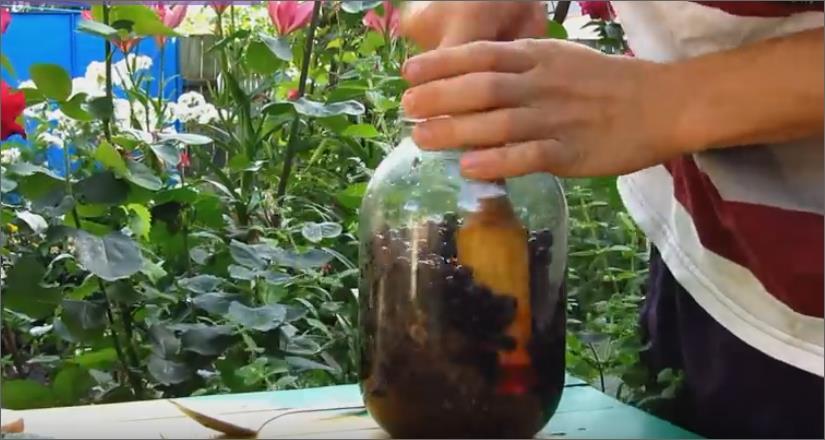 Наливка из черной смородины 2