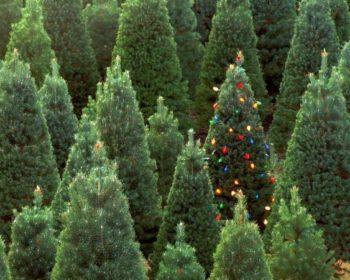 живая елка на новый год