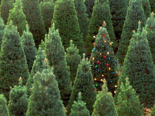 Стоит ли покупать живую елку на новый год
